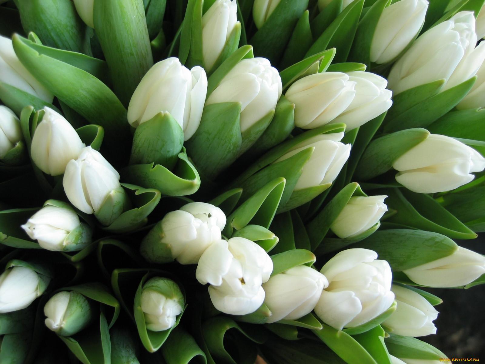 ижевске фото с белыми тюльпанами все